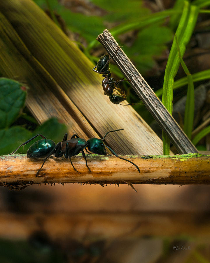 Ant Photograph - Ants Adventure 2 by Bob Orsillo