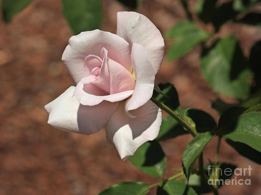 Flower Photograph - Apertif Tea Rose by Terri Mills