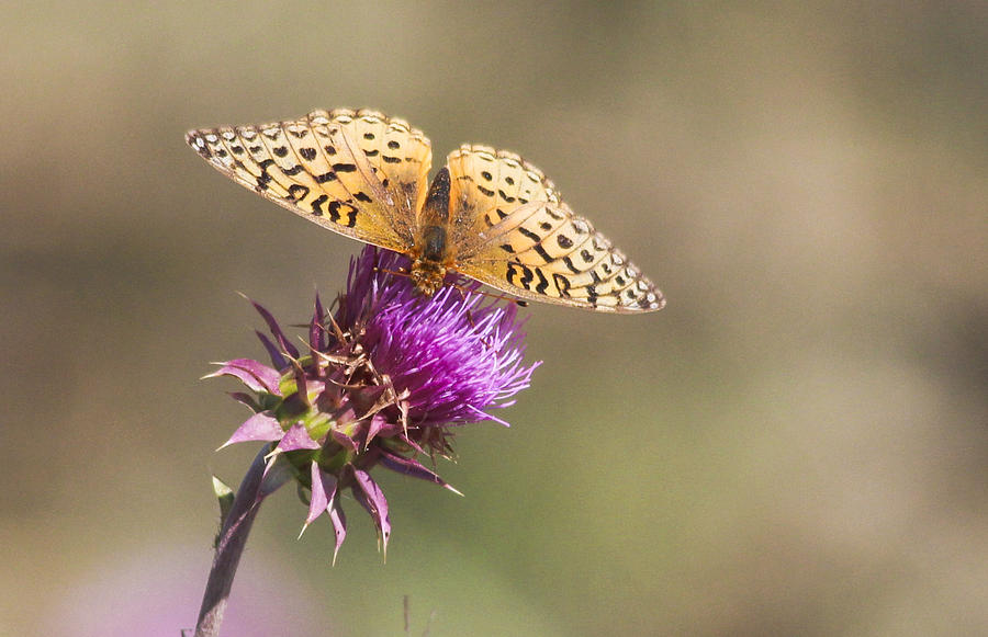 Aphrodite Photograph - Aphrodite Butterfly On A Purple Thistle by Gerald Murray Photography