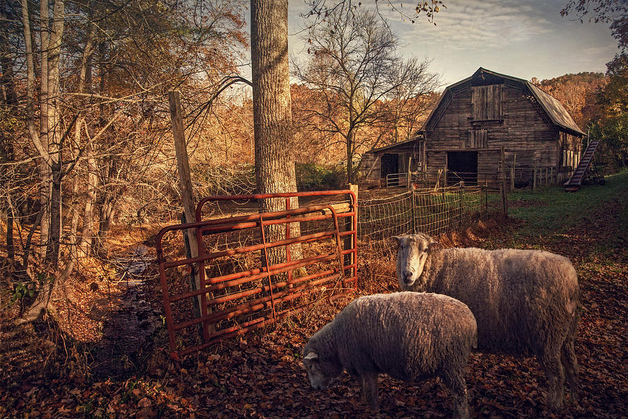 Farm Photograph - Appalachian Sheep by William Schmid