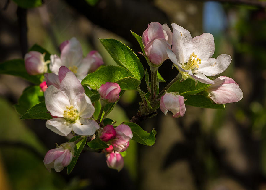 Apple Blossom Photograph - Apple Blossom 3 by Carl Engman