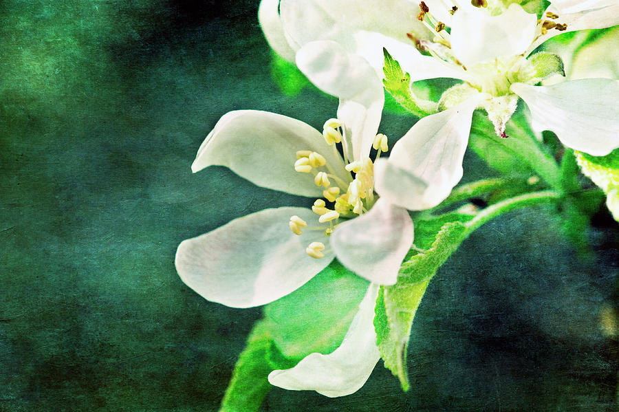 Apple Blossom Photograph by Image By Catherine Macbride