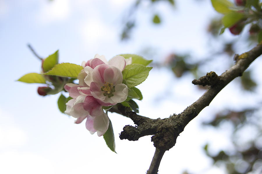 Apple Blossom Photograph by Maeve O Connell