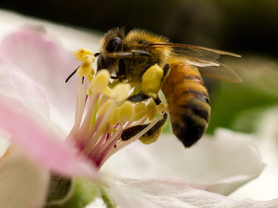 Flower Photograph - Apple Blossom with Bee by Carl Engman