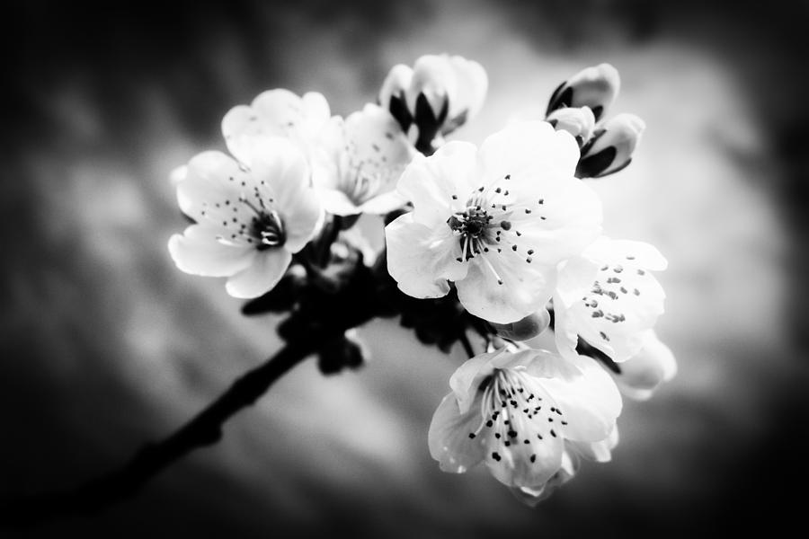 Apple Blossoms Black And White Photograph By Matthias Hauser