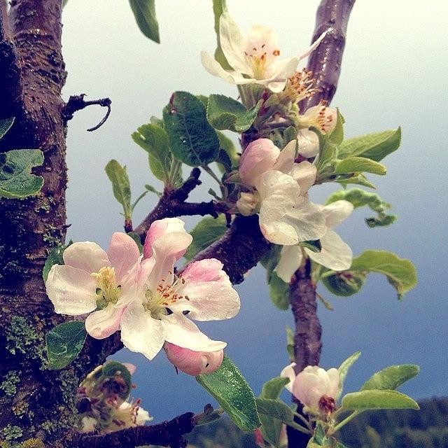Pdx Photograph - Apple Blossoms Right Outside My Studio by Blenda Studio