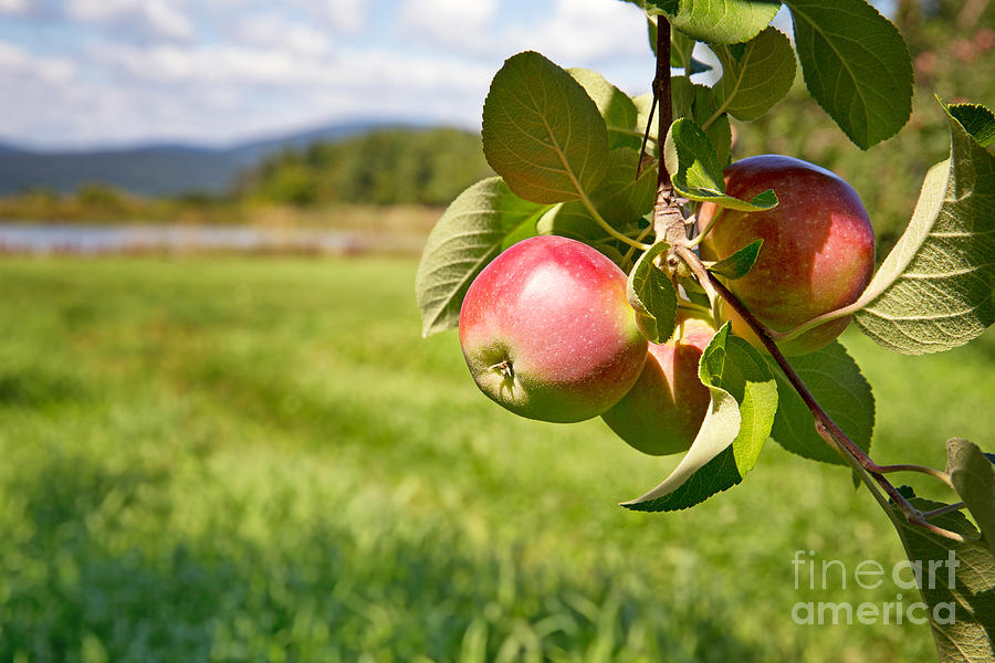 Apple Photograph - Apple Orchard by Jane Rix