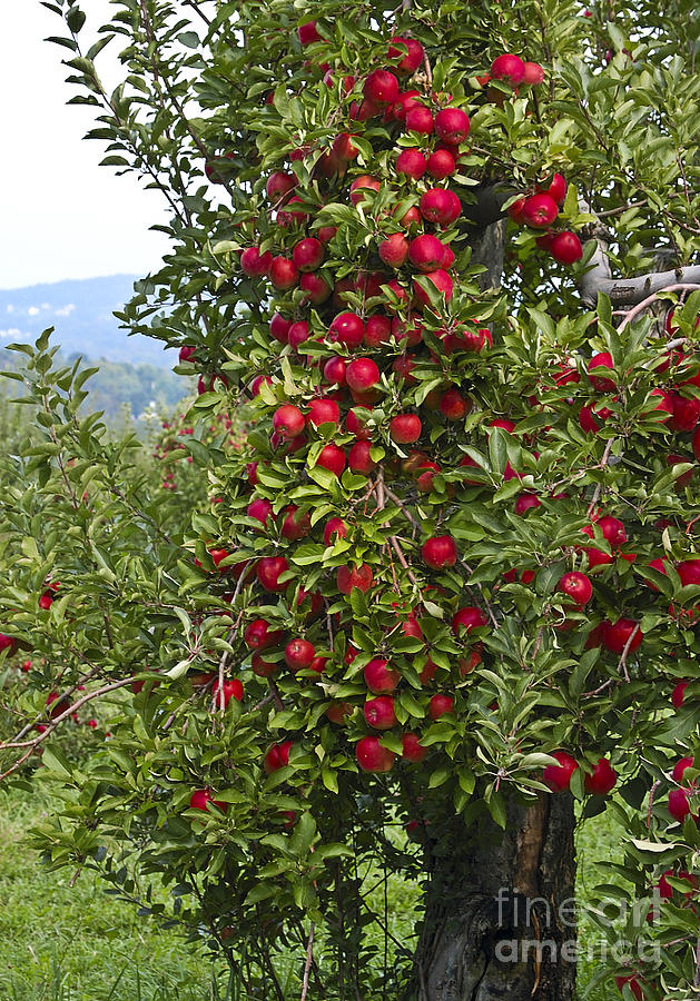Apple Photograph - Apple Tree by Anthony Sacco