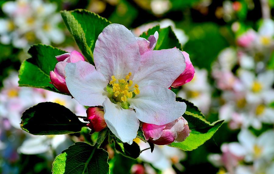 Apple Photograph - Apple tree blooms by Patrick Pestre