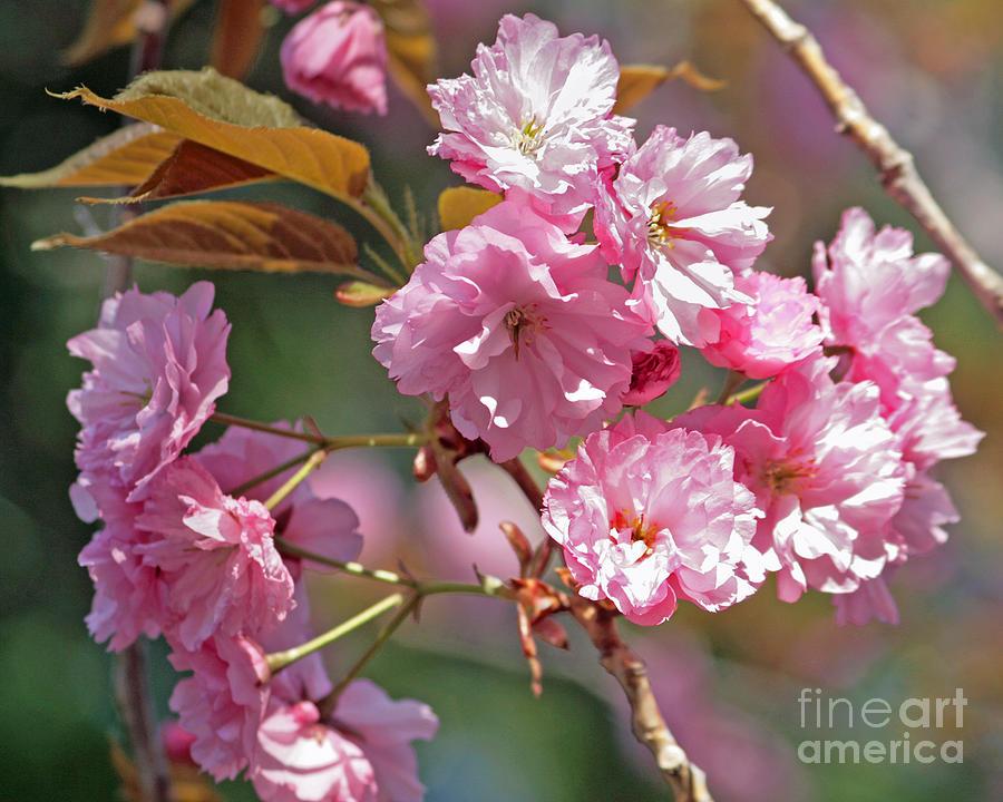 Apple Tree Blossoms Photograph by Kenny Bosak