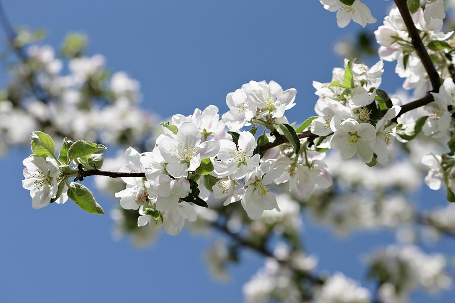 Apple Trees In Full Bloom Photograph by Wilfried Krecichwost