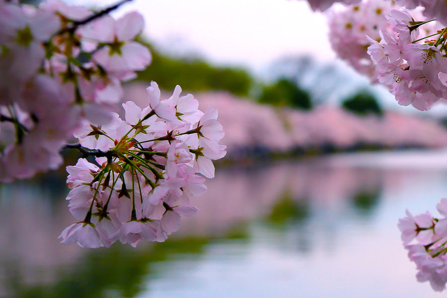 Cherry Blossoms Photograph - April by Mitch Cat