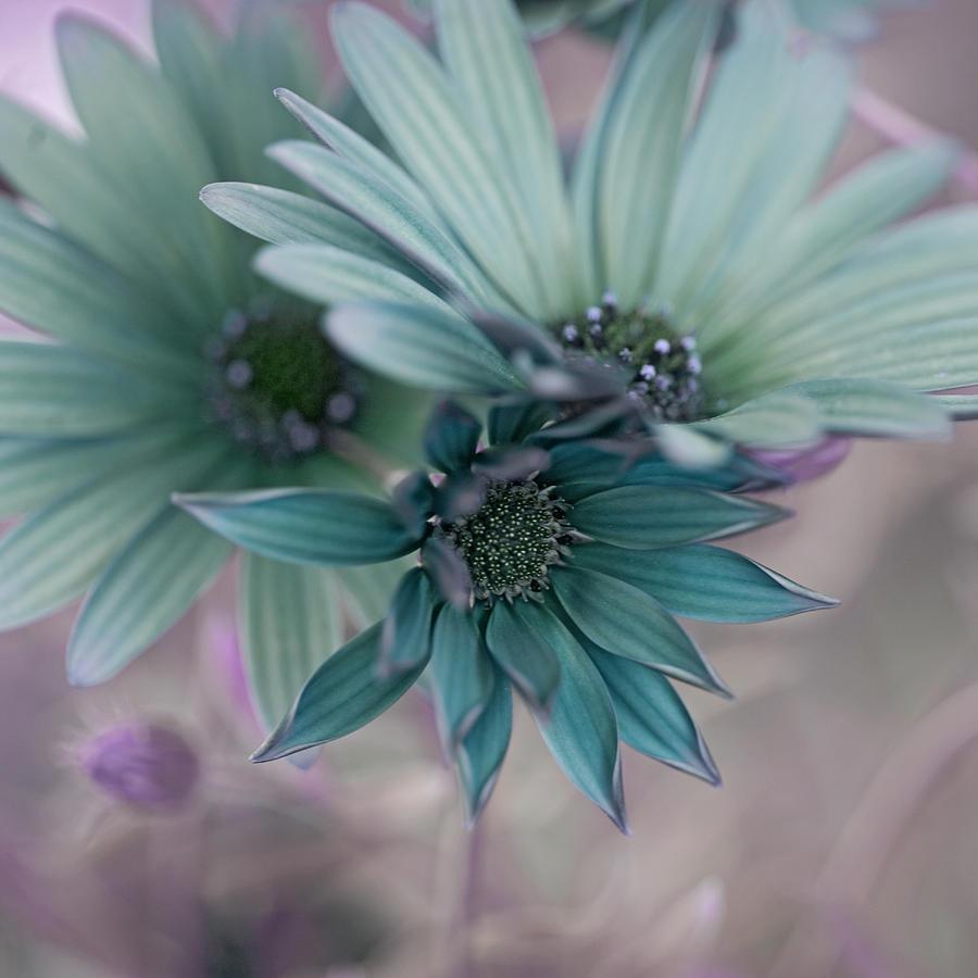 Aqua Photograph - Aqua Gerberas by Bonnie Bruno