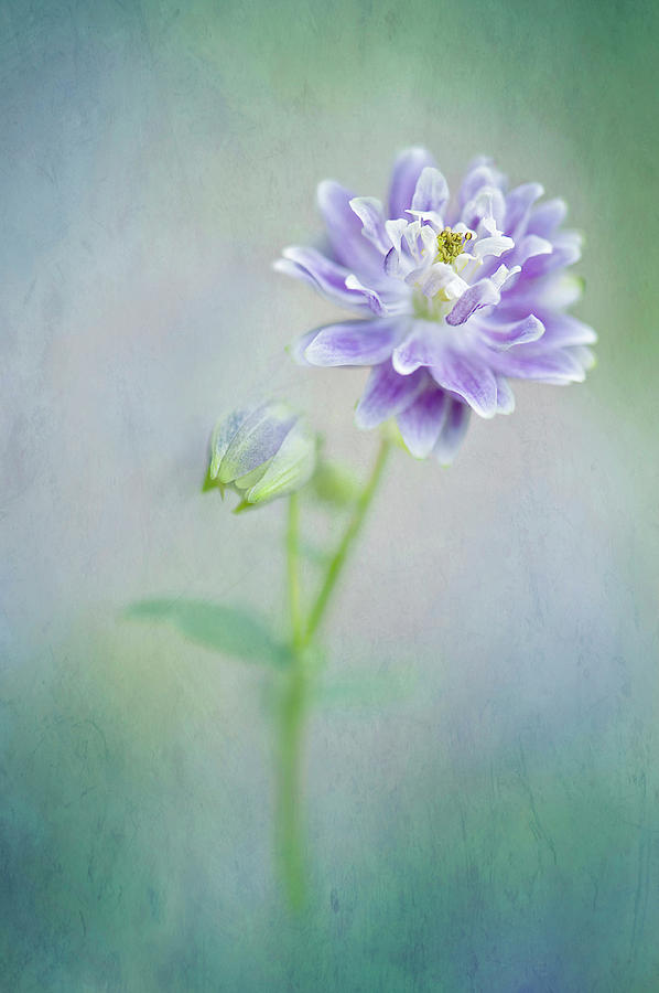Aquilegia Photograph by Jacky Parker Photography