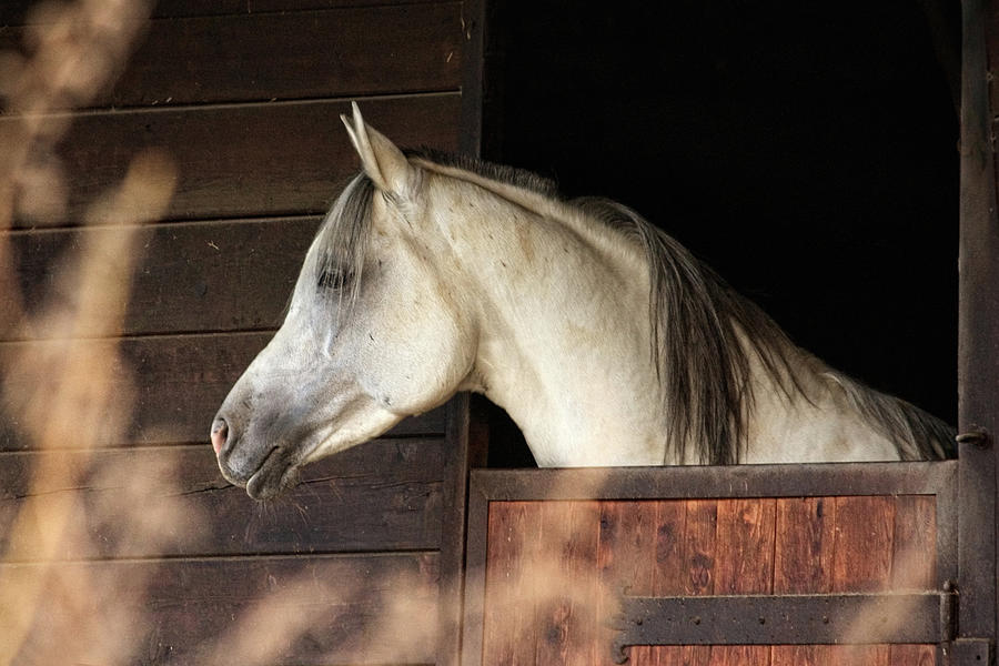 Arabian Horse Looking Out Of Stable Photograph by Christiana Stawski