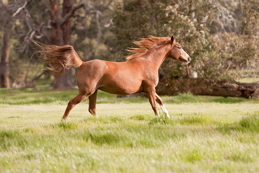Horse Photograph - Arabian Horse Running Free by Michelle Wrighton