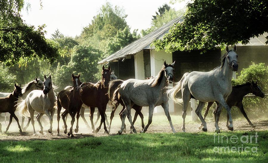 Horse Photograph - Arabian Horses by Angel Ciesniarska