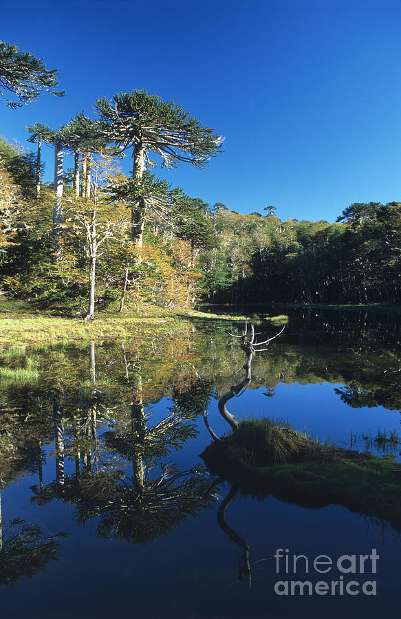 Chile Photograph - Araucaria Reflections In The Chilean Lake District by James Brunker