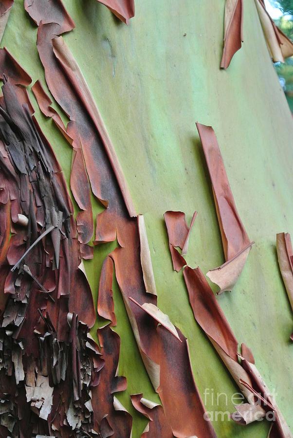Arbutus Bark Peeling by Sharron Cuthbertson