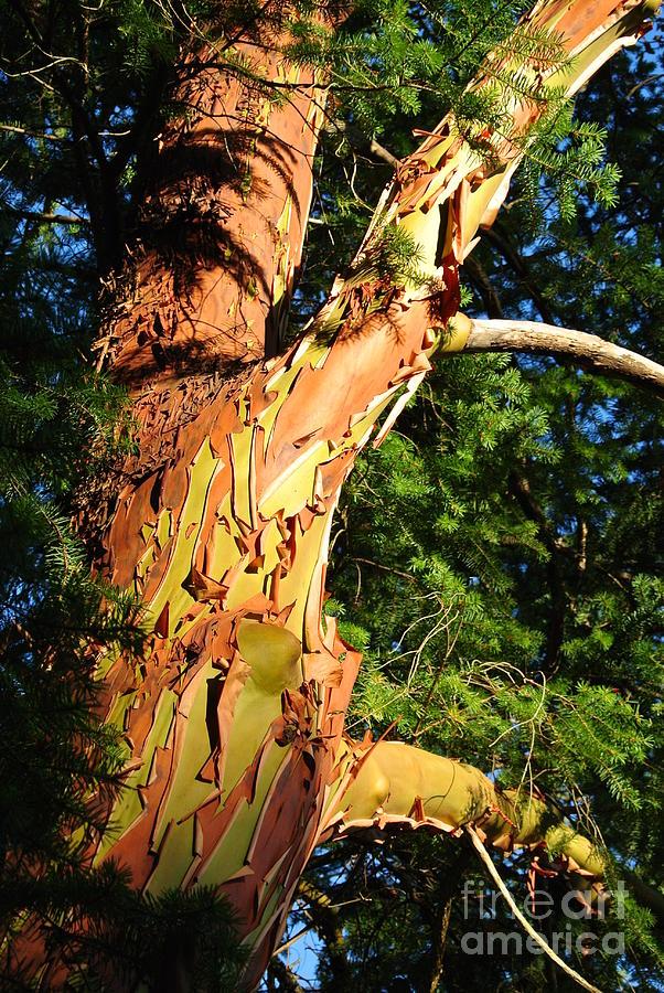 Arbutus In Sunlight by Sharron Cuthbertson