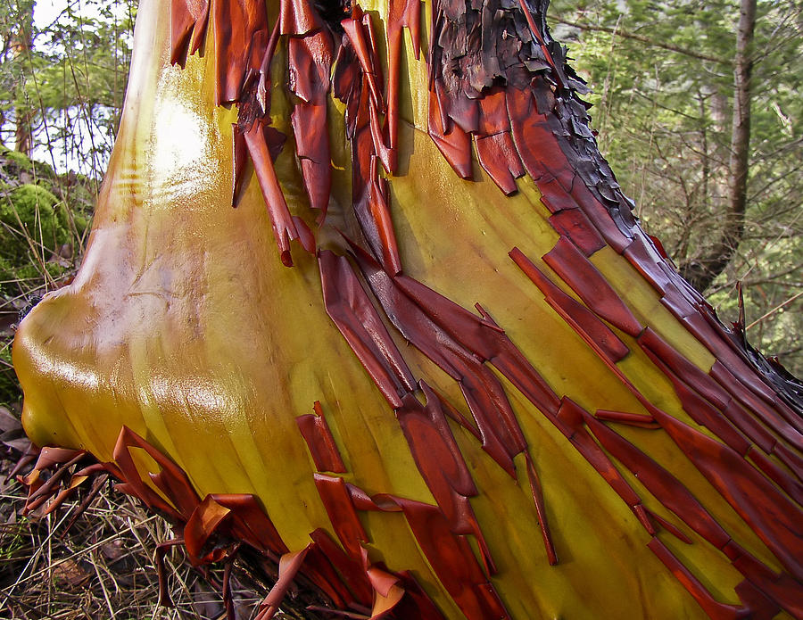 Arbutus Tree Trunk Photograph By Derek Holzapfel
