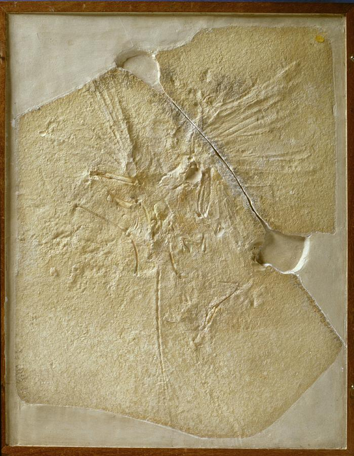 Archaeopteryx Lithographica Photograph - Archaeopteryx Fossil by Natural History Museum, London/science Photo Library