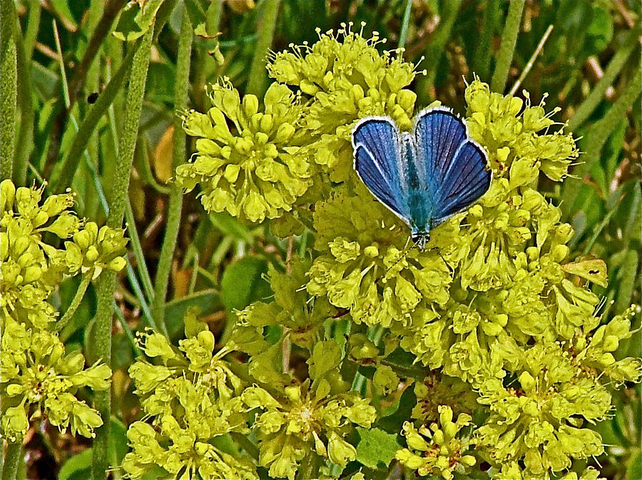 Idaho Photograph - Arctic Blue Butterfly On Sulfur Flower In Fort Running Bear Near Mountain Home-idaho    by Ruth Hager