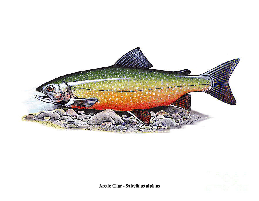 Arctic char male mixed media by art mackay for Arctic char fish