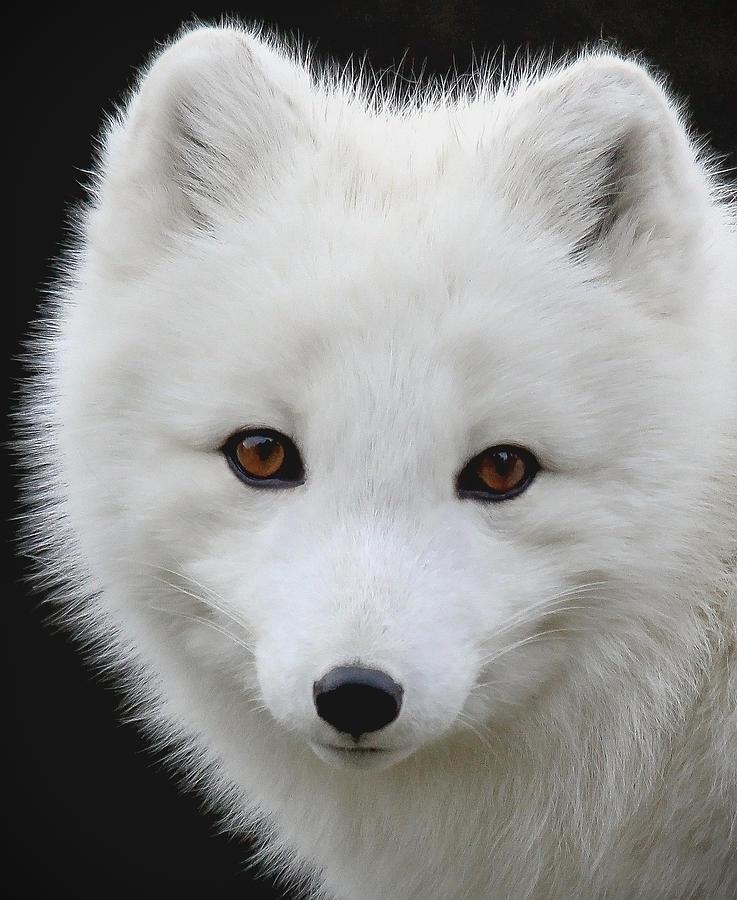 Arctic Fox Portrait Ii Photograph By Athena Mckinzie