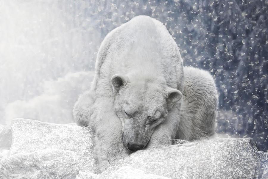 Arctic Giant Sleeping Photograph