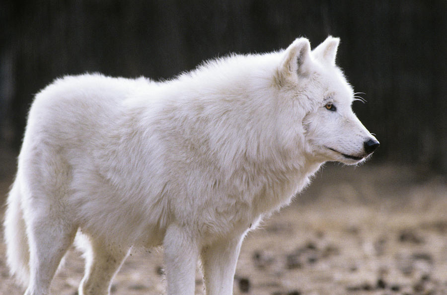 Horizontal Photograph - Arctic Wolf by Animal Images