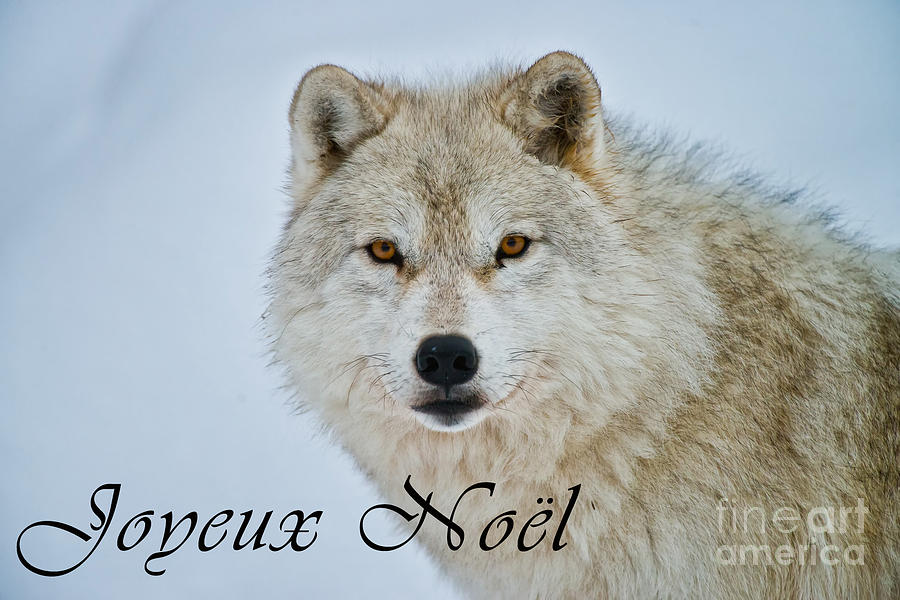 Arctic Wolf Christmas Card French 15 Photograph