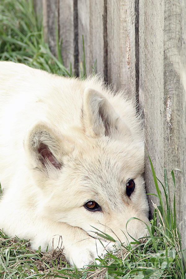 Arctic Photograph - Arctic Wolf by Kathy Eastmond