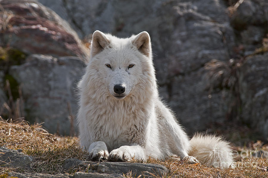 Arctic Wolf Photography Photograph - Arctic Wolf Pictures 518 by World Wildlife Photography
