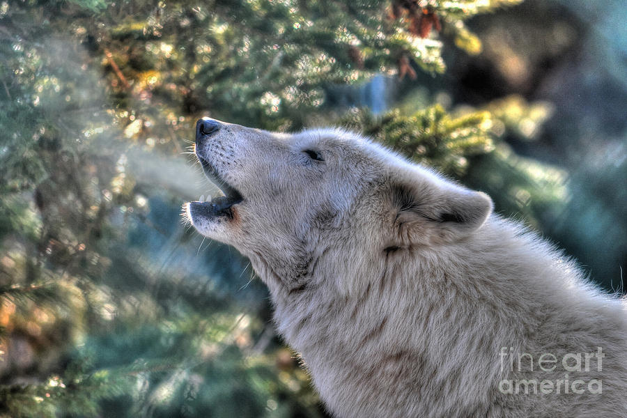 Photograph - Arctic Wolf Song by Skye Ryan-Evans