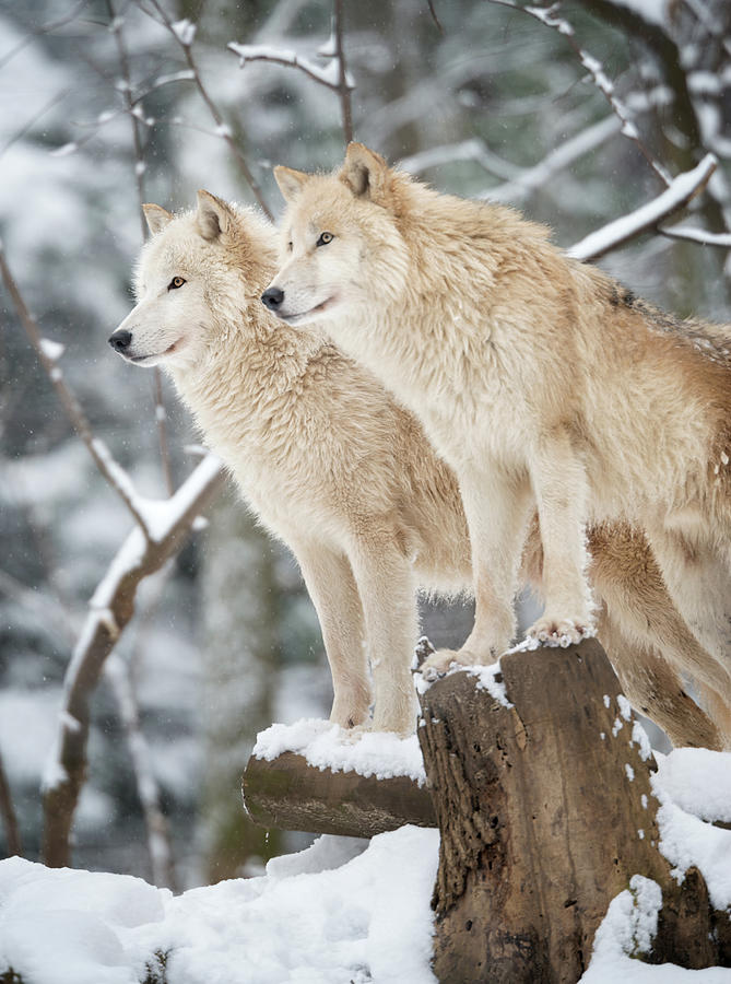 Arctic Wolves Pack In Wildlife, Winter Photograph by 4fr