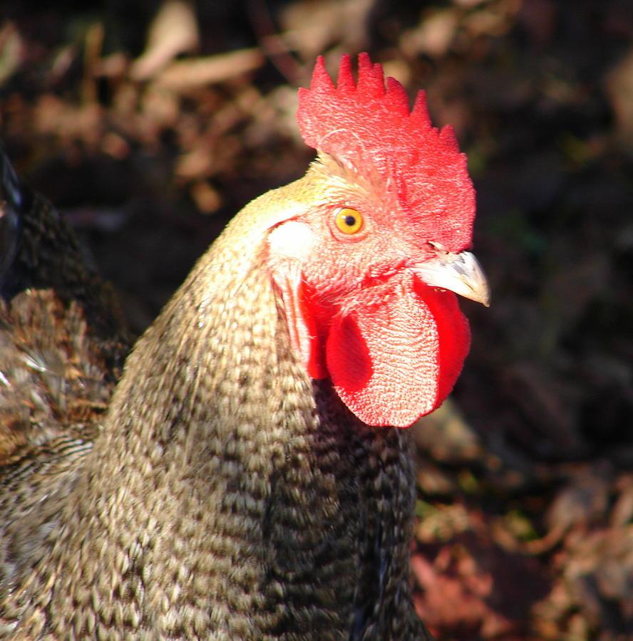 Chicken Photograph - Are You Chicken by Lew Davis