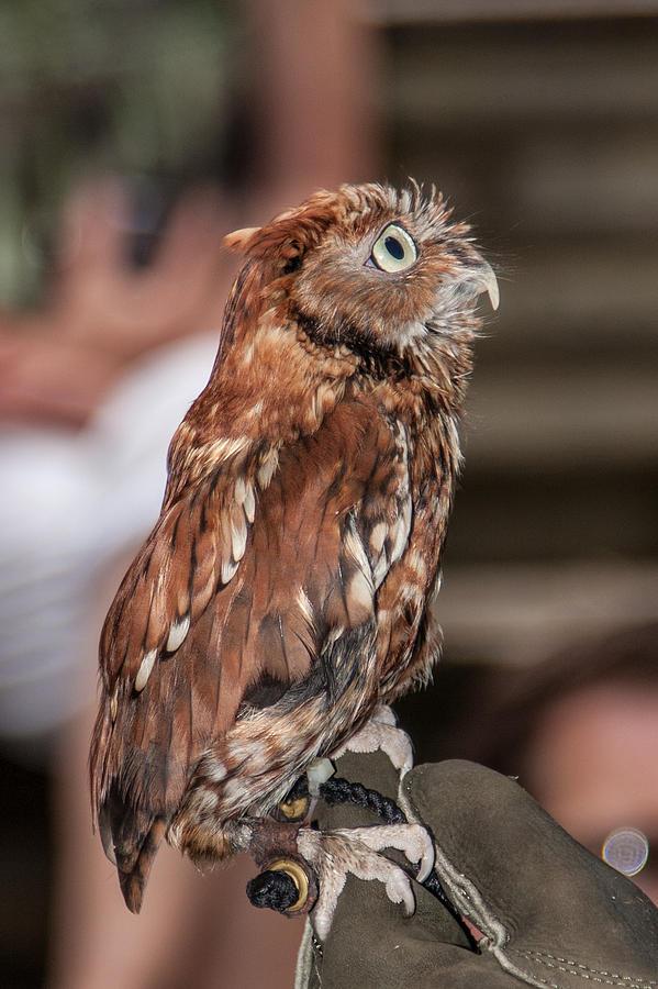 Screech Owl Photograph - Are You My Mother by John Haldane