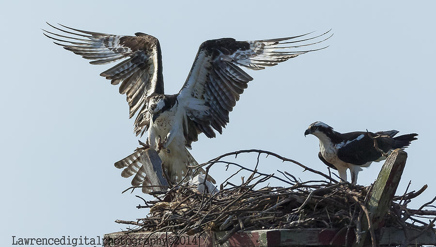 Ospreys Photograph - Are You Watching ... This How You Land    by Glenn Lawrence