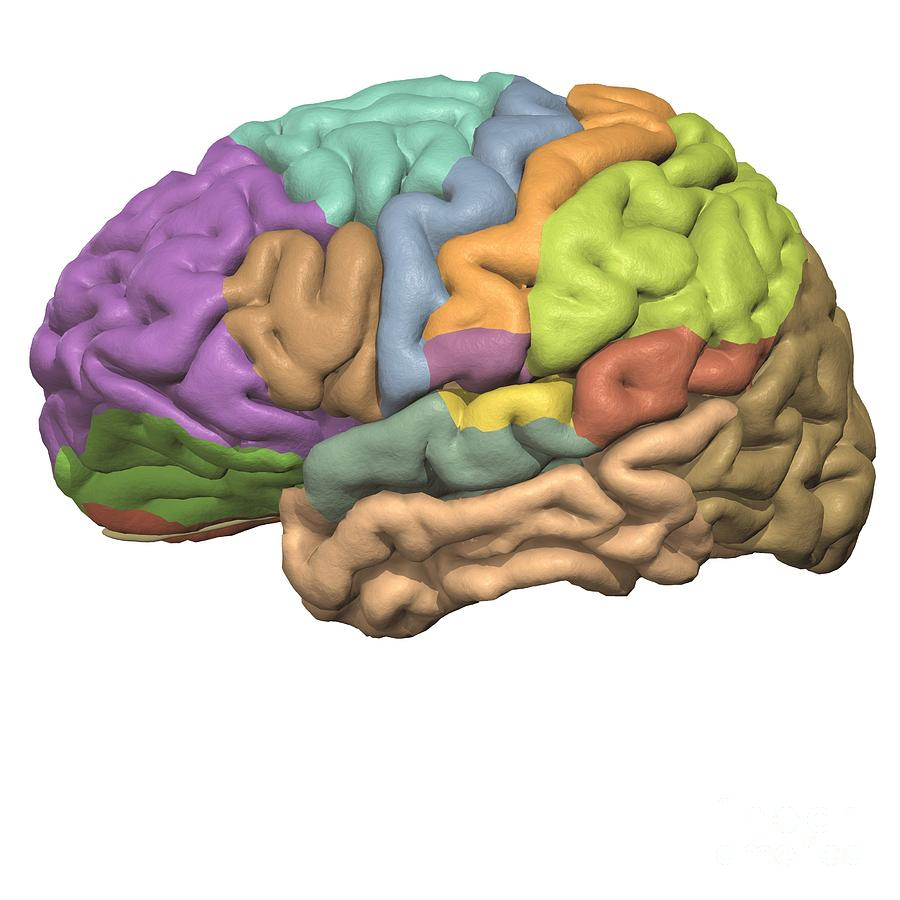 Areas Of The Cerebrum Photograph By Medical Images Universal Images