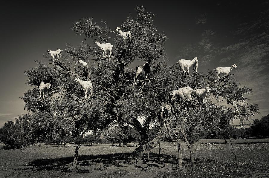Marrakesh Photograph - Argan Loving Goats by Dario Puebla
