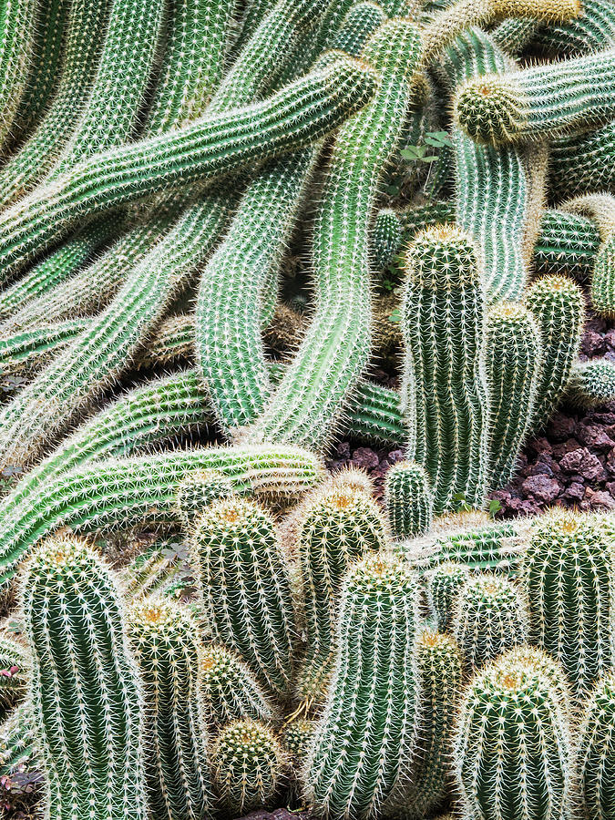Argentine Giant Cactus Photograph by Andy Sotiriou