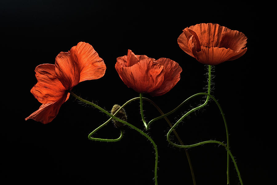 Poppies Photograph - Around Midnight #2 by Lenka