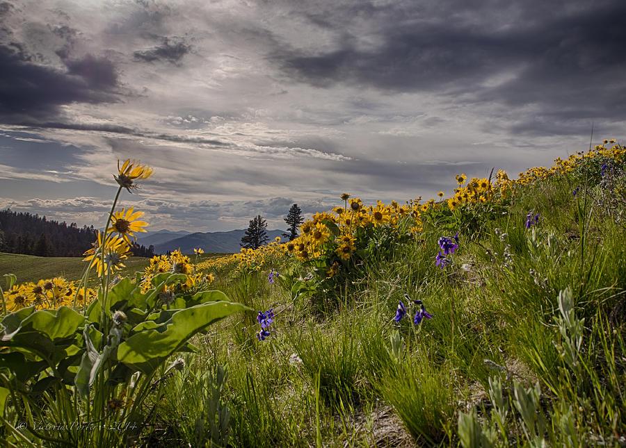 Arrowleaf Balsamroot Blooming on the National Bison Range by Victoria Porter
