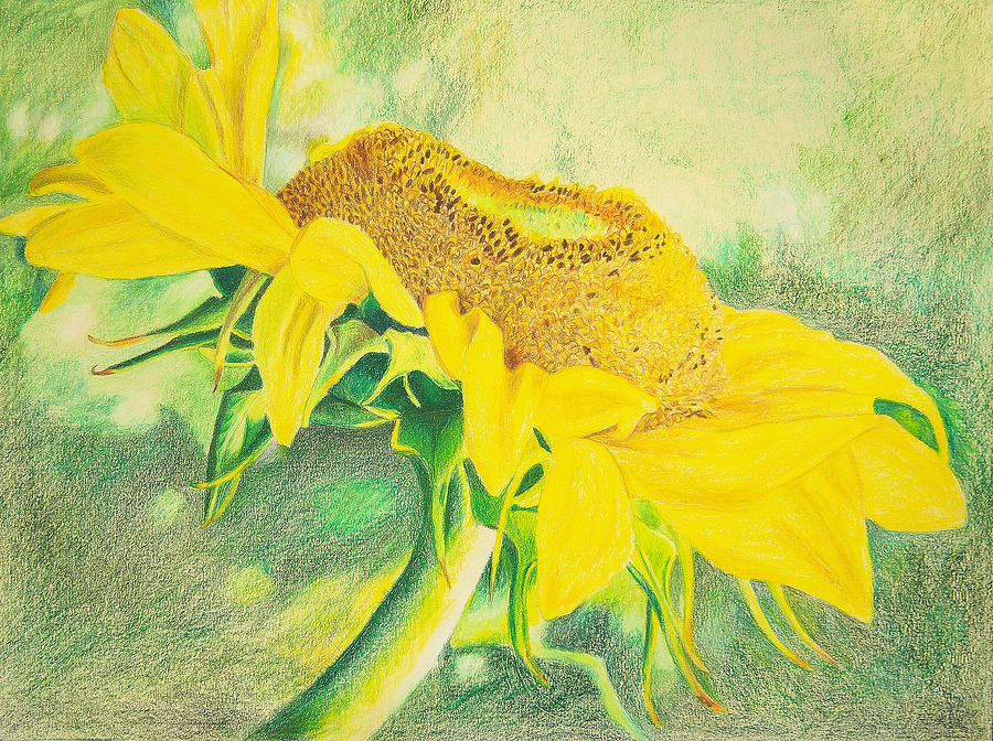 Flower mixed media sunflower print art for sale colored pencil floral by diane jorstad