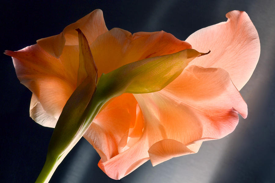 Gladiolus Photograph - Art Of Gladiolus. by Terence Davis