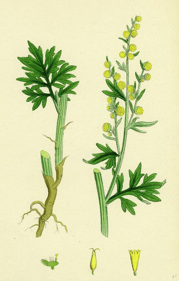 Artemisia Absinthium Common Wormwood