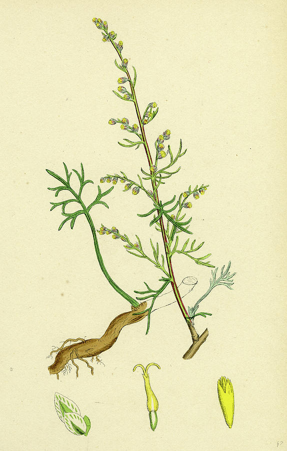 19th Century Drawing - Artemisia Campestris Field Southernwood by English School