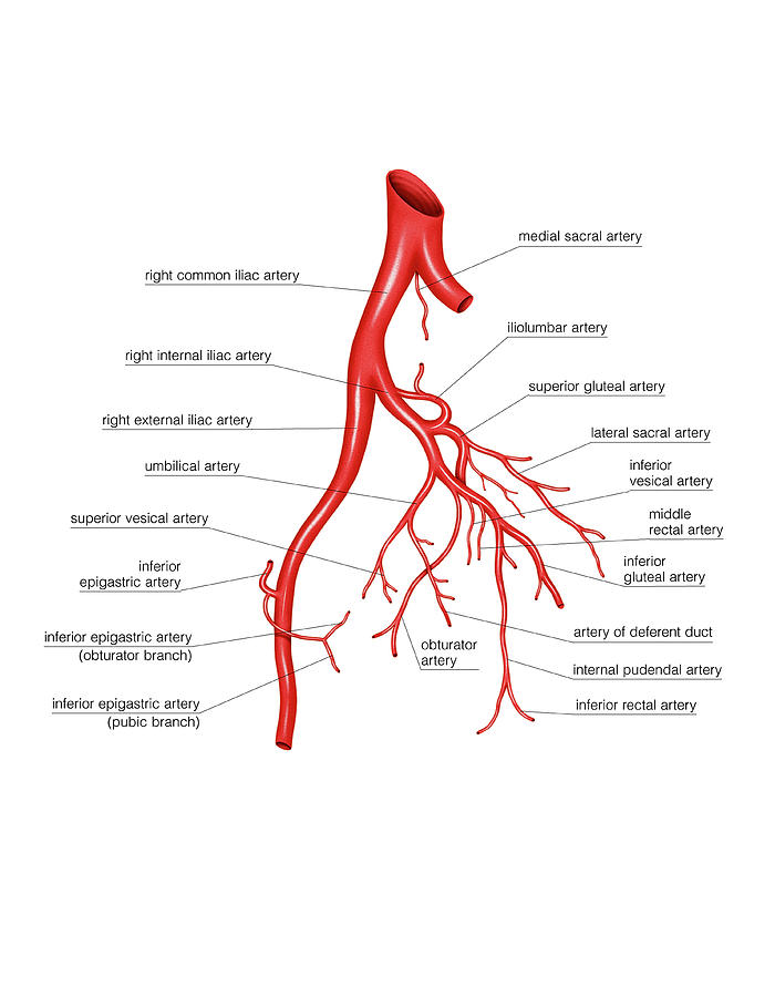 Arterial System Of The Abdomen Photograph By Asklepios Medical Atlas