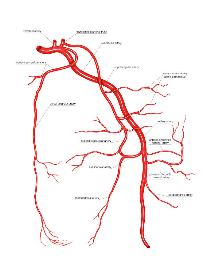 Arterial System Of The Scapular Photograph By Asklepios Medical Atlas
